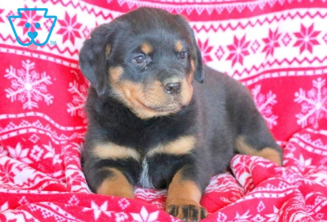 Candy Cane Rottie 1-001