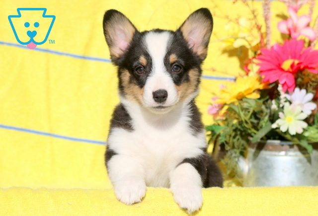 Carebear Welsh Corgi 1-001