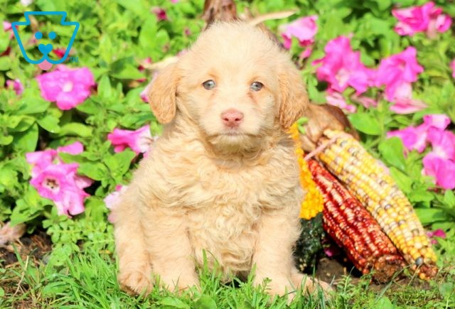 Champ Mini Labradoodle 1-001