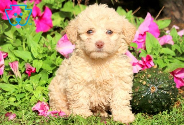 Chewy Mini Labradoodle 1-001