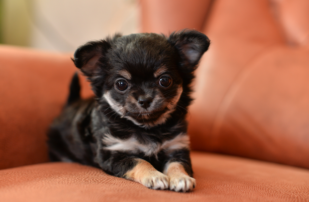 Chihuahua puppy for sale from PA