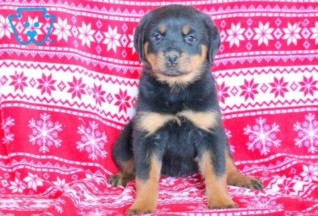 Chilly Rottie 1-001