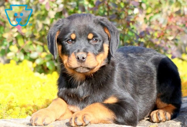 Chime Rottie 1-001