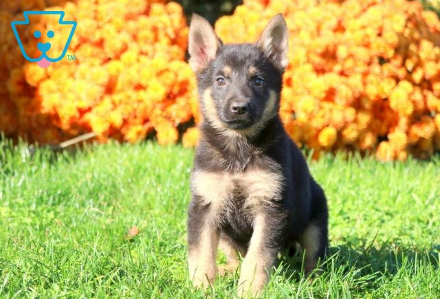 China German Shepherd 1-001