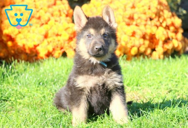 Chip German Shepherd 1-001
