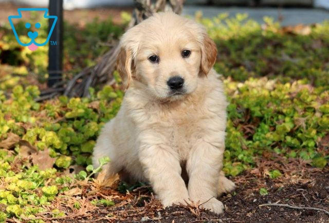 Chloe Golden Retriever2