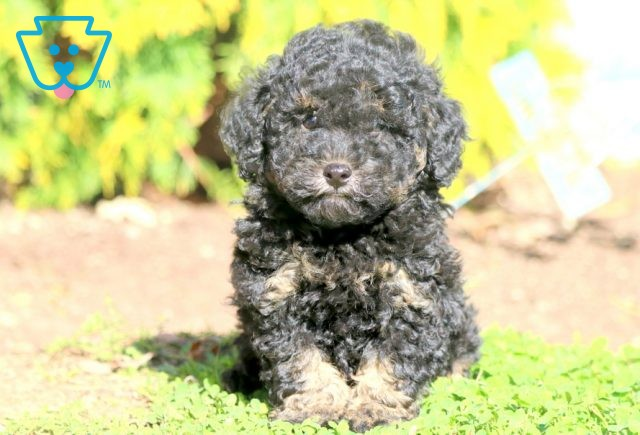 Forest Cavapoo 1-001