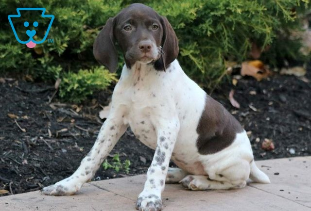 Gia German Shorthaired Pointer