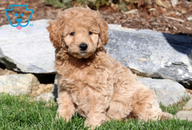 King Mini Labradoodle