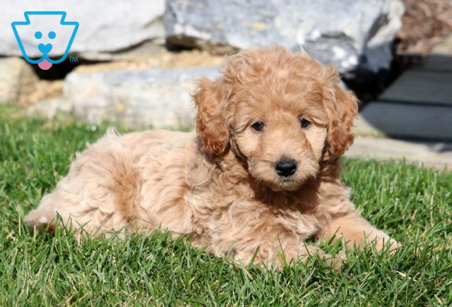 King Mini Labradoodle2