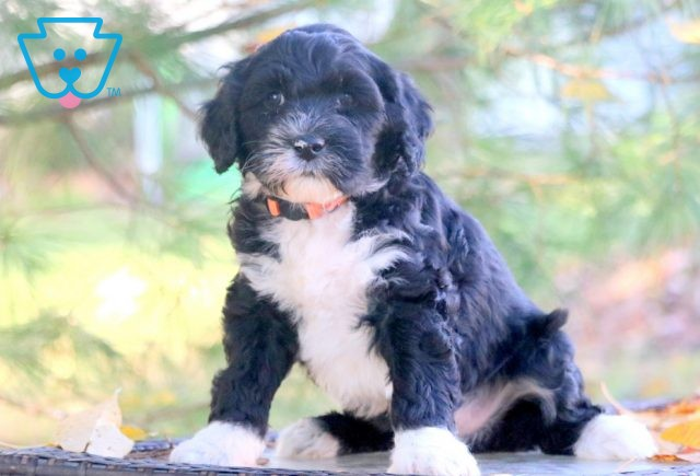 Marlo Portugese Water Dog 1-001