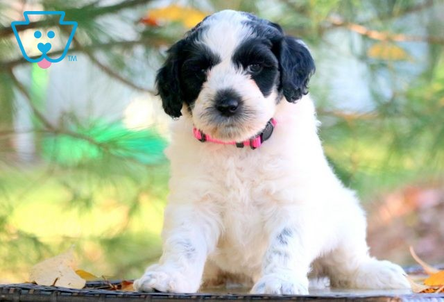 Muffin Portugese Water Dog 1-001