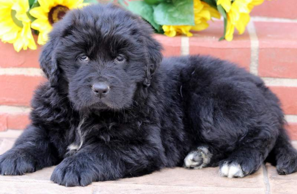 Big puppy breeds for sale