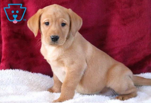 Pearly Fox Red Lab