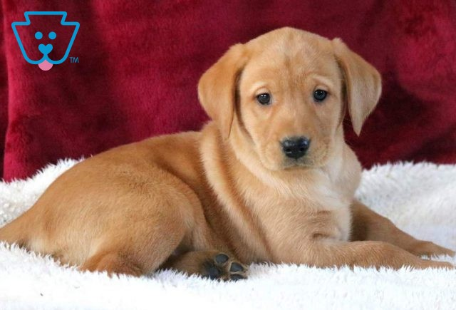 Pearly Fox Red Lab2
