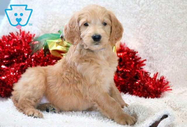 Robby Goldendoodle 1-001