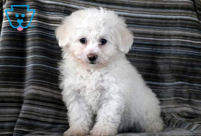Sugar Plum Bichon