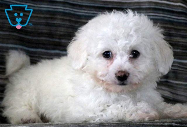 Sugar Plum Bichon2
