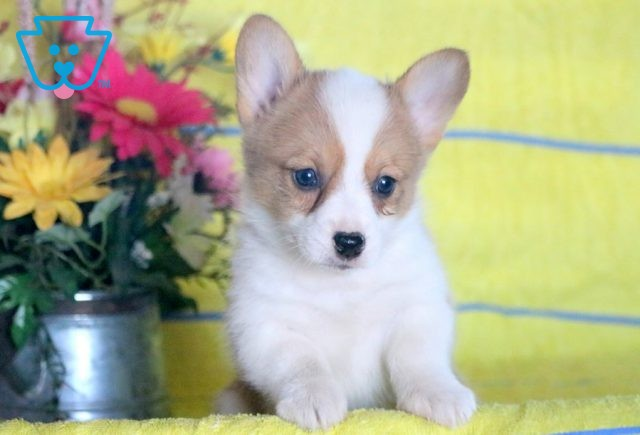 cALLIE wELSH cORGI 1-001