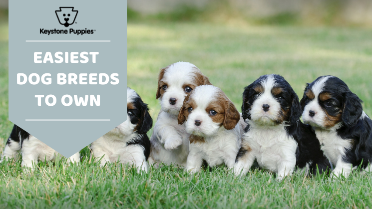 Easy dog breeds to own