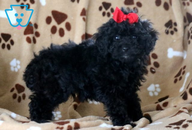Ace Mini Poodle