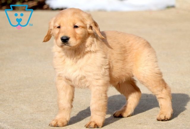 Hulk Golden Retriever 1-001