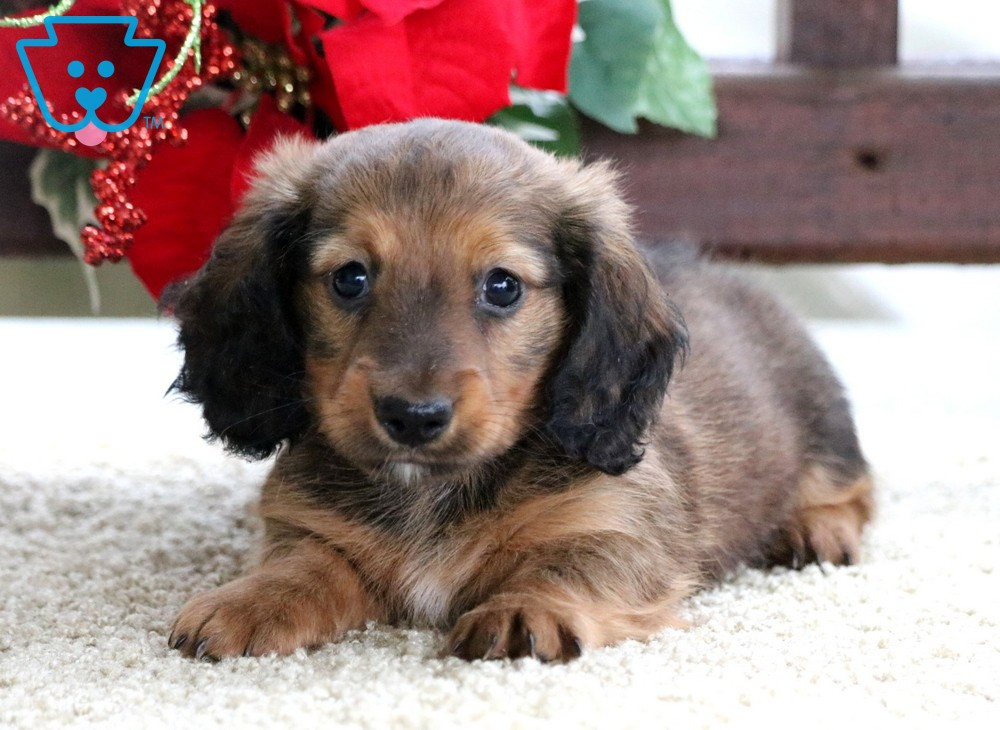 Healthy puppy for sale in Pennsylvania