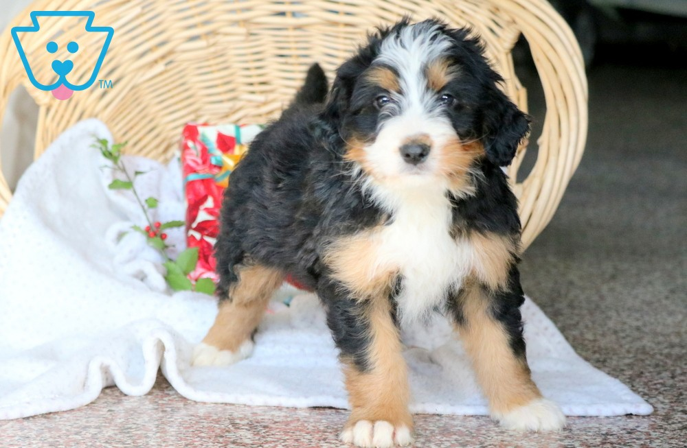 Healthy Mini Bernedoodle puppy