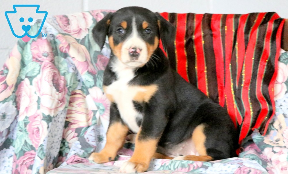 Nina | Greater Swiss Mountain Dog Puppy For Sale ...