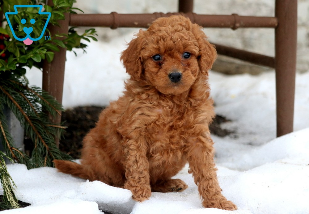 Cute and healthy Mini Goldendoodle puppy in PA