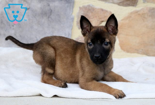 Brittany Malinois