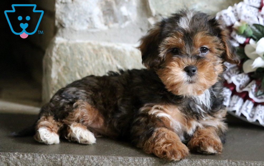 Cute puppy for sale from PA