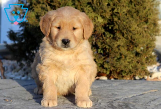 Golden Retriever puppy for sale from PA breeder