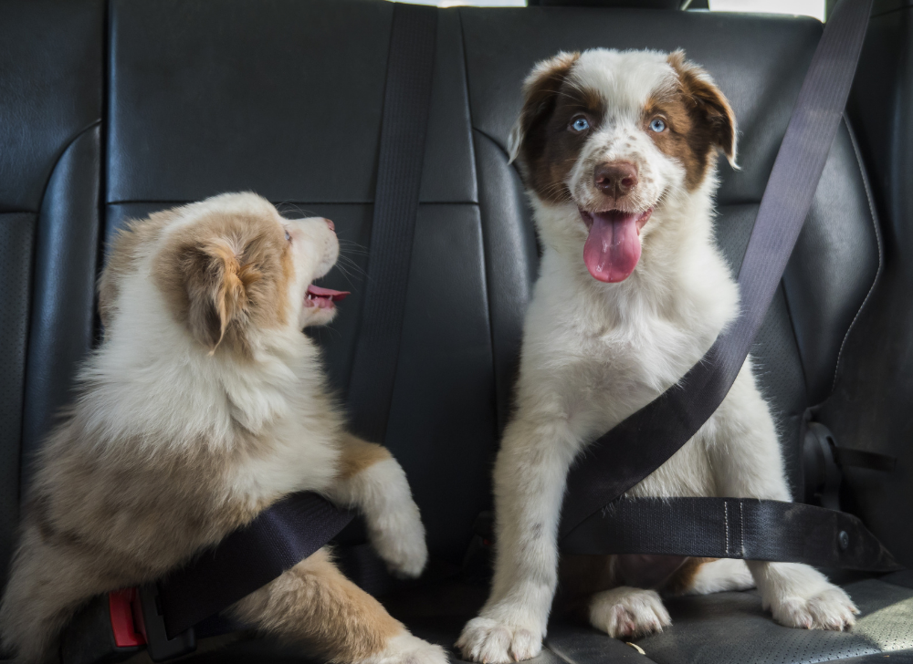 Puppies traveling in car