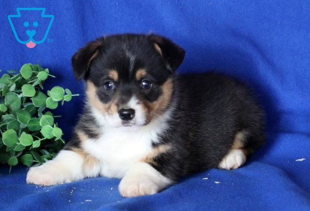 Bear Welsh Corgi2