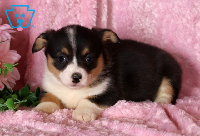 Buttons Welsh Corgi2