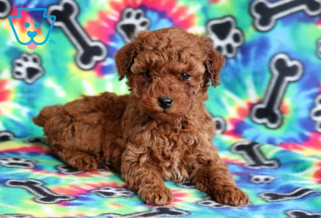 Callie Mini Poodle2