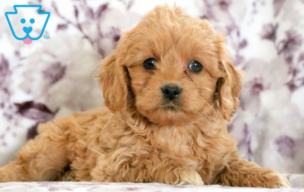 puppies for sale from reputable breeder