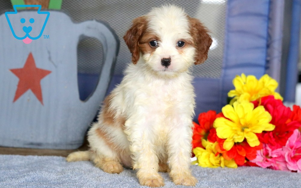 Cavapoo puppies from PA breeder