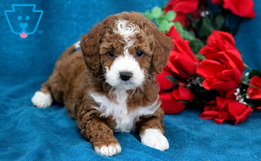 Cavapoo puppy for sale from PA breeder