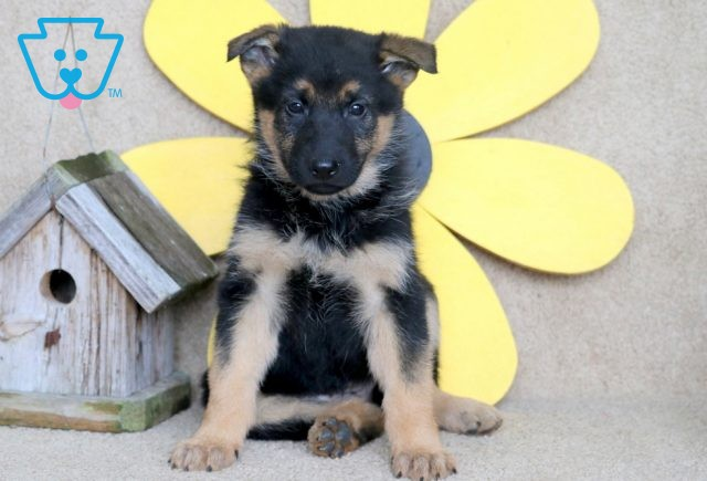 Luna German Shepherd 1-001