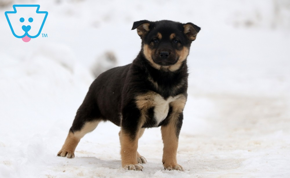 Shiba Inu Mix puppy for sale in PA