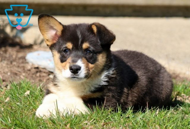 Bear welsh corgi