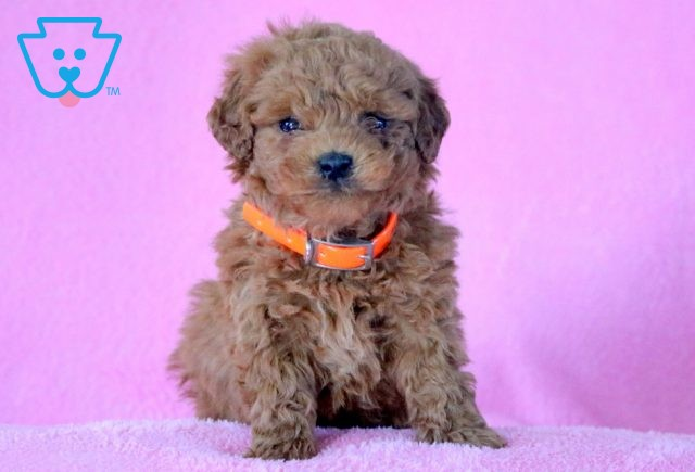 White and tan Bernedoodle for sale