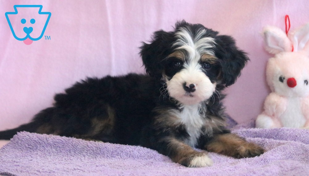 Mini Bernedoodle Puppy for Sale in Pennsylvania