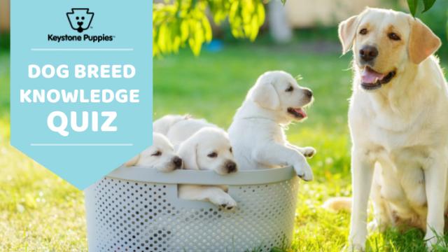 Keystone Puppies' Guess The Dog Breed Quiz