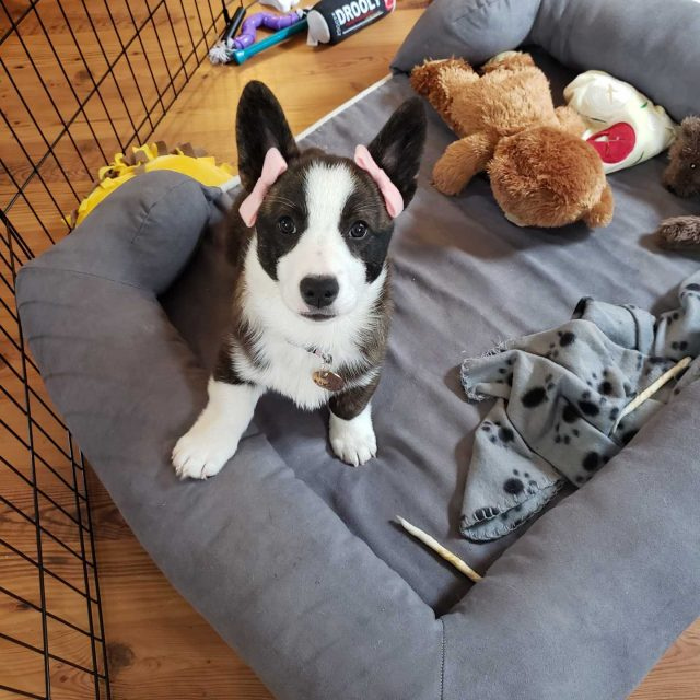 Extremely Pleased – Darla the Corgi