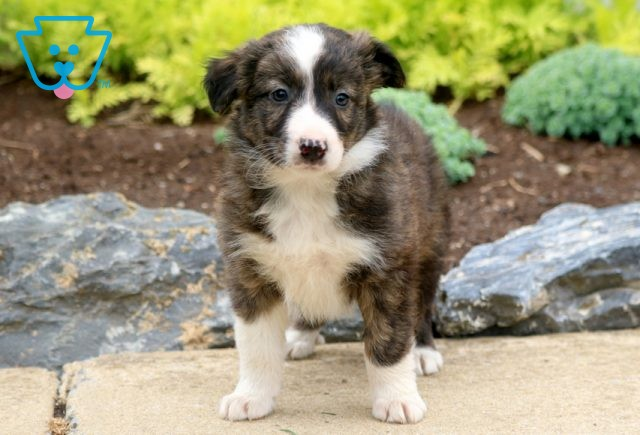 Andy Border Collie Mix 1-001