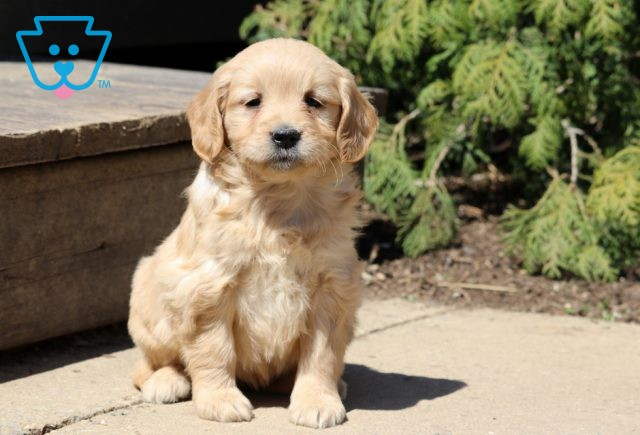 Annabell Mini Goldendoodle