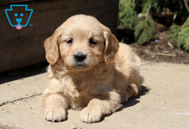 Annabell Mini Goldendoodle2